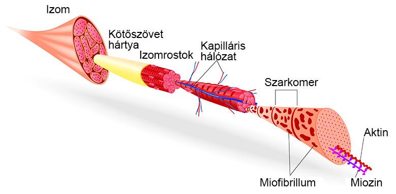 A kontraktúra kialakulásának mechanikai és neurogén okai